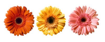 Mooie Daisy Flowers Royalty-vrije Stock Afbeelding