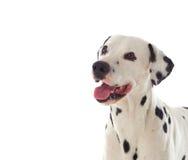 Mooie Dalmatische hond Royalty-vrije Stock Fotografie