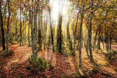 Mooie de herfst bosscène die zonlicht tonen door bomen Royalty-vrije Stock Afbeelding