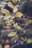 Mooie de herfstbessen op thatak royalty-vrije stock afbeelding