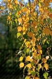 Mooie de herfstbladeren van berkboom Royalty-vrije Stock Foto's