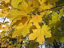 Mooie de herfstbladeren van esdoorn Stock Fotografie