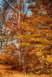 Mooie de herfstbomen in het kleurrijke bos stock foto's
