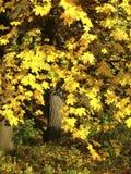 Mooie de herfstesdoorn in een park met grote gele bladeren Stock Afbeelding