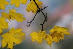 Mooie de herfsttak van esdoorn op het achtergrond vage gebladerte Royalty-vrije Stock Afbeelding