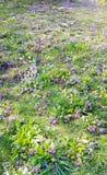 Mooie de lente bloeiende tuin met sleutelbloemen royalty-vrije stock afbeelding