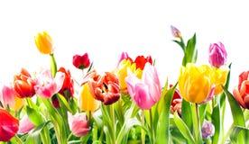 Mooie de lenteachtergrond van kleurrijke tulpen Royalty-vrije Stock Foto