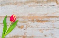 Mooie de lentebloem, één rode tulp op rustieke houten achtergrond met ruimte voor tekst stock afbeeldingen