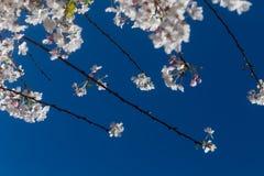 Mooie de Lentebloesems op Takken tegen Heldere Blauwe Hemelachtergrond Royalty-vrije Stock Afbeeldingen