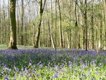 Mooie de lenteklokjes in het Onderstelhout, Chenies stock foto's