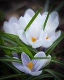 Mooie de lentekrokussen Witte bloemen in de tuin stock afbeelding