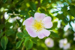Mooie de Tuininstallatie van bloem bloeiende heupen stock afbeeldingen