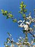 Mooie de zomerboom met kleine witte bloemen Royalty-vrije Stock Afbeeldingen