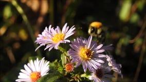 Mooie de zomermadeliefjes die in de weide van Kent groeien stock video