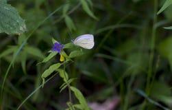 Mooie de zomervlinder royalty-vrije stock afbeeldingen