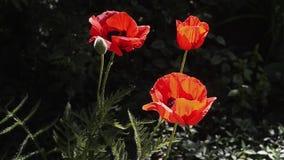 Mooie decoratieve rode papaverbloesems in de tuin stock footage