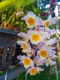 Mooie dendrobiumorchidee Royalty-vrije Stock Foto's