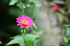 Mooie dichte omhoog roze die bloem als Asteraceae wordt bekend royalty-vrije stock foto