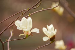Mooie dichte omhooggaand van de magnoliabloesem Vage achtergrond Royalty-vrije Stock Foto's