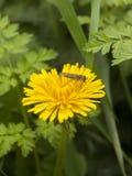 Mooie dichte omhooggaand van gele de bloembloei van de paardebloemzomer met Stock Afbeelding