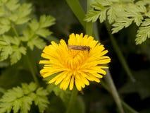 Mooie dichte omhooggaand van gele de bloembloei van de paardebloemzomer met Royalty-vrije Stock Afbeelding