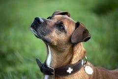 Mooie dichte omhooggaand van het Hondenportret Royalty-vrije Stock Afbeeldingen