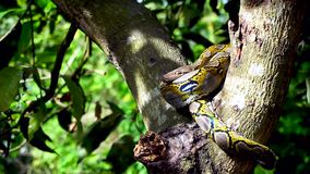 Mooie dichte omhooggaand van het onder ogen zien van Phyton-slangrust op de boom met gezoem in motie stock videobeelden