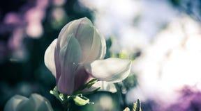 Mooie dichte omhooggaande magnoliabloemen Bloeiende magnoliaboom in de lente Selectieve nadruk royalty-vrije stock foto's