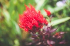 Mooie die bloem met zachte filter wordt gemaakt Stock Afbeeldingen