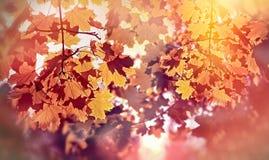 Mooie die de herfstboom door zonstralen wordt aangestoken - de herfstbladeren Royalty-vrije Stock Afbeelding