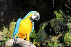 Mooie die de vogelpapegaai van de Macorevogel op het droge hout wordt neergestreken stock afbeeldingen