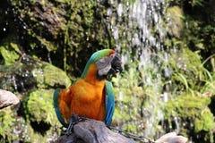 Mooie die de vogelpapegaai van de Macorevogel op het droge hout wordt neergestreken stock afbeelding
