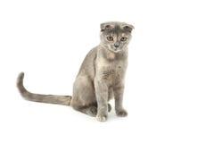 Mooie die kat op wit wordt geïsoleerd Stock Afbeeldingen