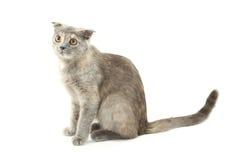 Mooie die kat op wit wordt geïsoleerd Stock Fotografie