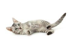Mooie die kat op witte achtergrond wordt geïsoleerd Stock Afbeeldingen