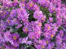 Mooie die muur van rode violette purpere bloemen, rozen, tulpen, pers-muur, achtergrond wordt gemaakt, stock fotografie
