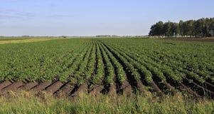 Mooie die rijen op gebied met aardappels wordt geplant royalty-vrije stock foto