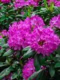 Mooie die rododendronstruiken met mooie bloemen worden uitgestrooid stock afbeeldingen