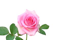 Mooie die roze nam bloem op witte achtergrond wordt geïsoleerd toe royalty-vrije stock afbeelding