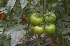 Mooie die tomaten in een serre worden gekweekt Het tuinieren tomatenfoto met exemplaarruimte Royalty-vrije Stock Afbeeldingen