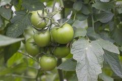 Mooie die tomaten in een serre worden gekweekt Het tuinieren tomatenfoto met exemplaarruimte Ondiepe Diepte van Gebied Royalty-vrije Stock Afbeelding