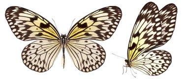 Mooie die vlinder op wit wordt geïsoleerd stock foto's