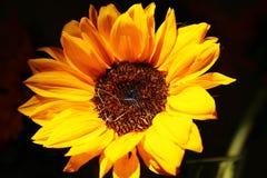 Mooie die Zonnebloem met een achtergrond van Nice wordt genomen Royalty-vrije Stock Foto