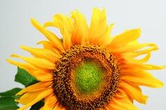 Mooie die zonnebloem op grijze achtergrond wordt geïsoleerd royalty-vrije stock afbeelding