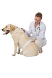 Mooie dierenarts die de gele hond van Labrador verbinden stock afbeelding