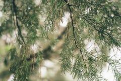Mooie distichum van Baldcypress Taxodium van installatiebomen met waterdruppeltjes stock afbeelding
