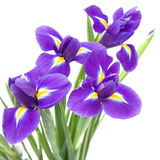 Mooie donkere purpere irisbloem Stock Afbeelding