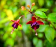 Mooie donkerrode fuchsiakleurig bloem op aard groene backgroud, Stock Afbeeldingen