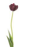 Mooie donkerrode tulp Royalty-vrije Stock Foto