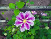 Mooie donkerroze, Purpere bloemclematissen in tuin stock foto's